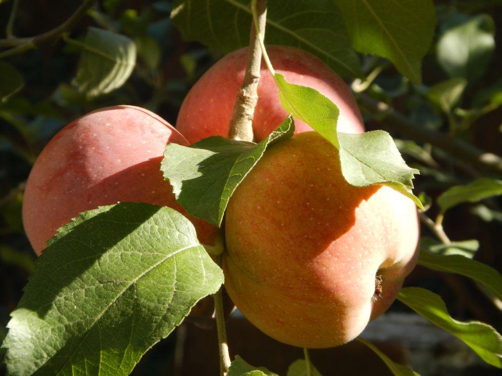 Üks õun päevas hoiab rasva eemal