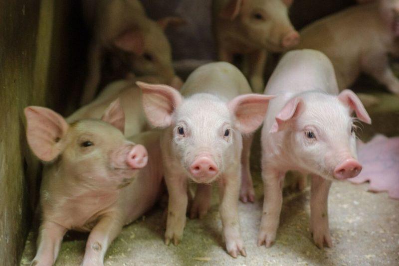 Põrsaste elustandarditest sõltub toidulauale jõudva sealiha kvaliteet