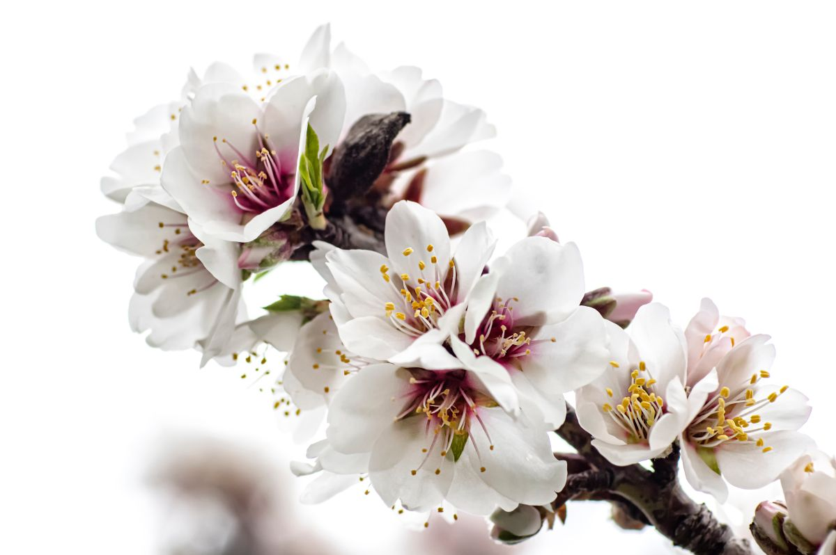 Almond,Blossom,Macro,Photography,,Flowered,Almond,Tree,And,Almond,Blossom